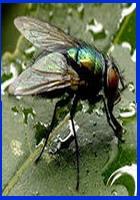Муха Lucilia - антибиотик